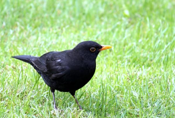 MorguefileBlackbird