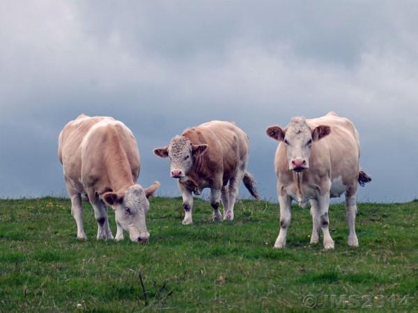 Cows-2b-Aug2014