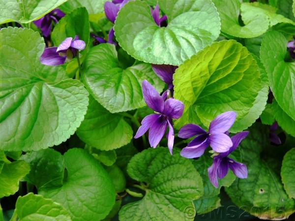 Violets-Mar2015Web