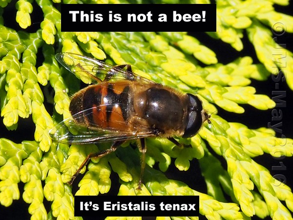 HoverflyBlog-EndMay-1-A