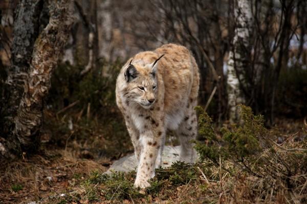 Lynx_MFile+Kvaale